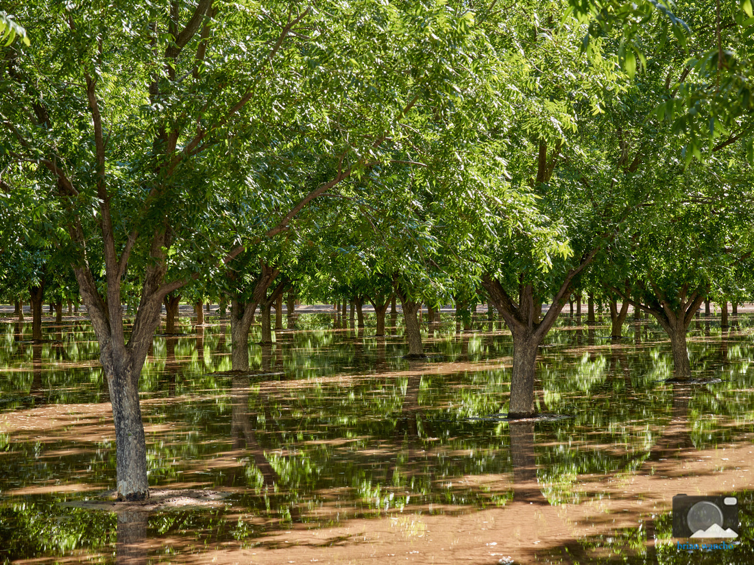 Pecan Trees in Southern New Mexico